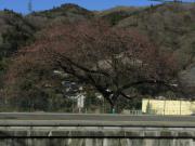 2012_03_29 駿河小山駅(金太郎さくら)