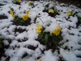 春の雪パンジー9744