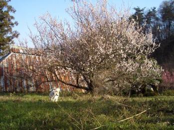 梅の花咲く9976