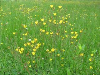 ハナニガナの花畑0254