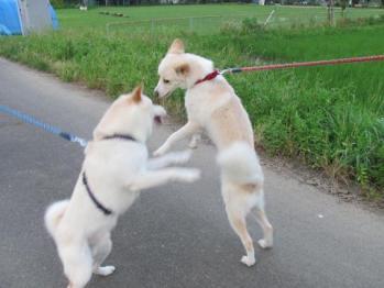 白犬一家お相撲_0651