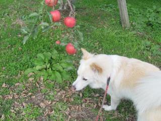 リンゴの香り_1363