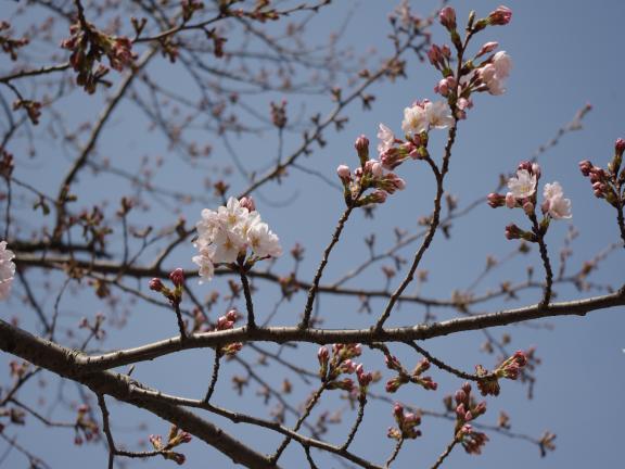 4-3桜①