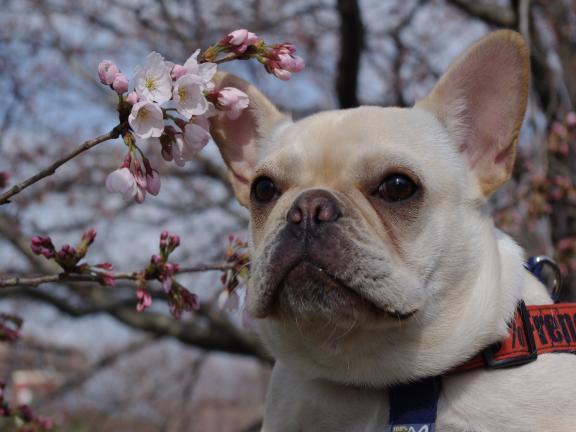 4-3うた桜