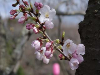 4-3桜小③