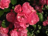 バラ 小輪房咲き ピンク 090607_cIMG_0723