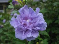 ムクゲ 紫八重 090930_cIMG_3570