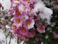 菊 ピンク 雪の中で 091217_cIMG_6707