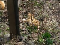 Animal+猫+八幡堰端で昼寝 100312_cIMG_7858