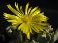Schwantesia borcherdsii 100425_cIMG_8479