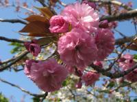 F 八重桜 100501_cIMG_8594