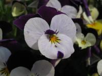 F ビオラ 白・紫 +虫 100504_cIMG_8675