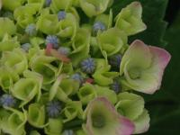 紫陽花 洋種 ピンク 咲き始め 100626_cIMG_1913