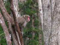 Animal ニホンザル 警報を発する 森林植物園 101114_cIMG_6527