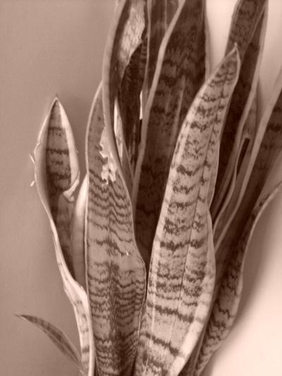 サンゼペリア(虎の尾)②