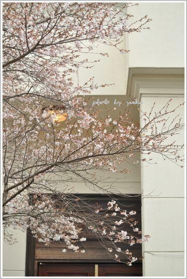 四季桜310-2
