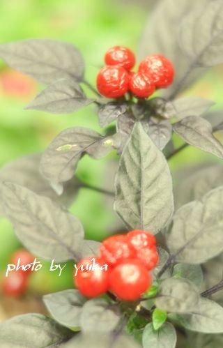 赤い実828-A