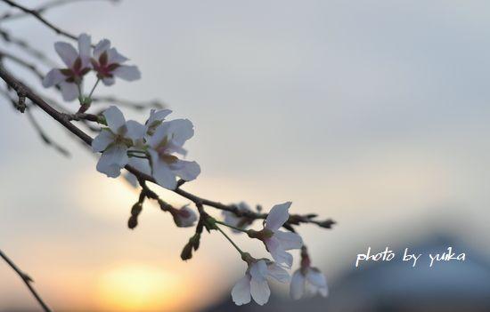 秋の桜1005-A
