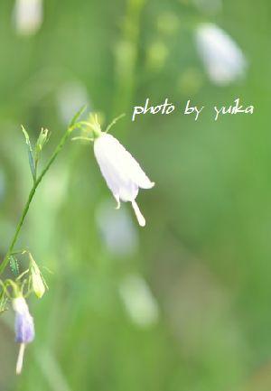 野の花1011-3