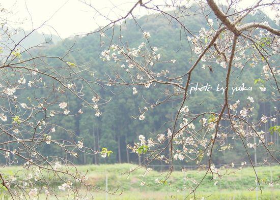 秋の桜1103-1