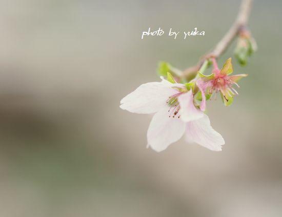 秋の桜1103-2