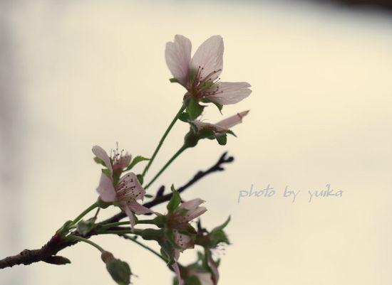 秋の桜1103-3