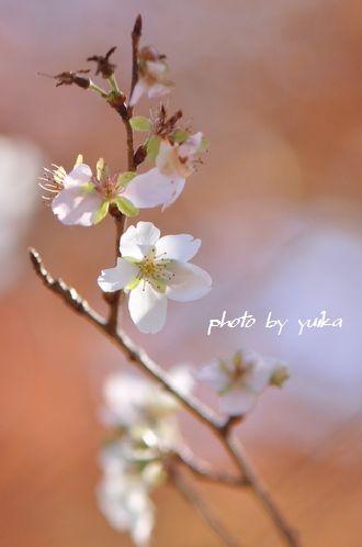 四季桜1130-5