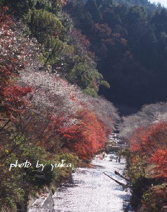 四季桜1130-2