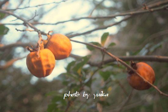 熟れた柿115-002