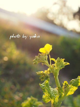 菜の花0124-1