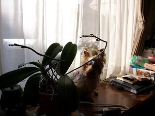 胡蝶蘭とモモ2010年02月03日_ALIM0129