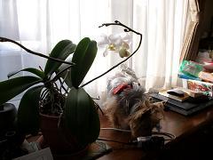 胡蝶蘭とモモ2010年02月03日_ALIM0130