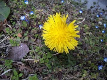 花タンポポ