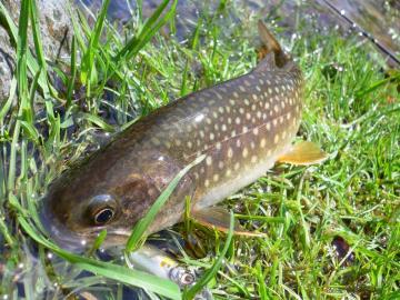 大谷岩魚6
