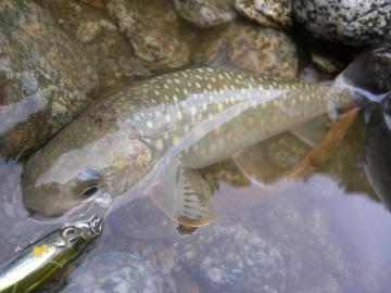 山形岩魚6