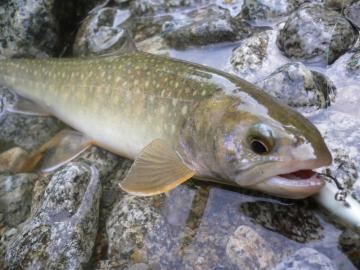 山形岩魚5