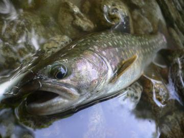 山形岩魚4