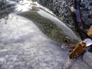 山形岩魚2