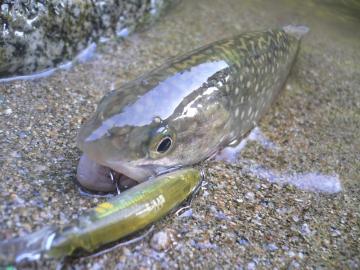 山形岩魚3