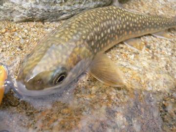 只見岩魚9