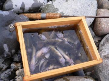 カジカ釣果58匹