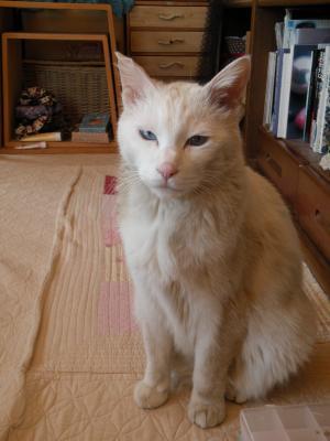 シロさん 灰色猫