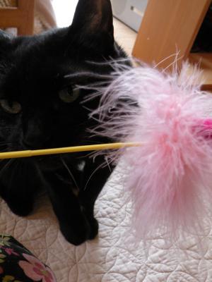 黒猫キキ ネコじゃらし クロースアップ