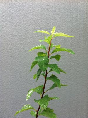 green twig dew