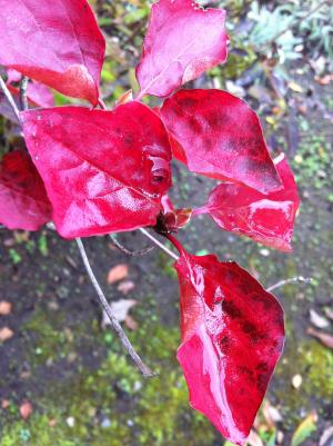 wet red leaves