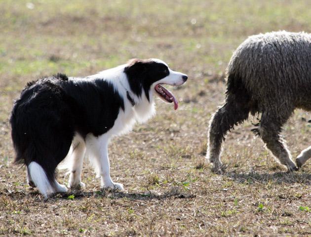 sheep1_20091121195739.jpg
