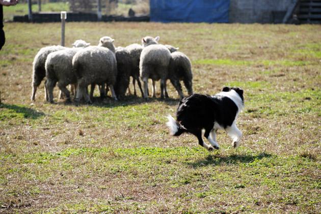 sheep4_20091122183714.jpg