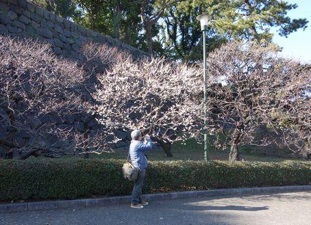 白梅は咲いている
