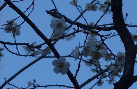 5分程度の開花