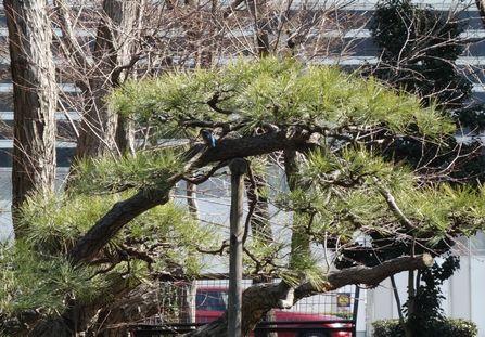松の木にいるという